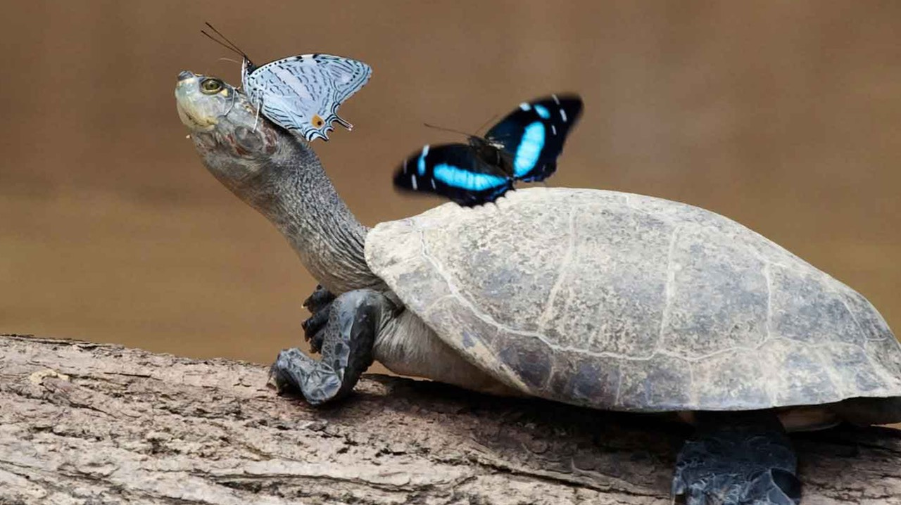 Taoist symbolist for longevity Butterflies-and-turtle